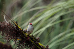Red-browed Finch (Neochmia temporalis). Sitting on a bush on Fraser Island, Queensland, Australia Royalty Free Stock Image