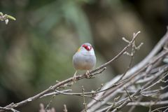 Red browed finch. The red browed finch is perched on a bush Royalty Free Stock Photography