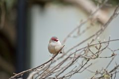 Red browed finch. The red browed finch is perched on a bush Royalty Free Stock Image