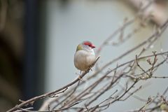 Red browed finch. The red browed finch is perched on a bush Stock Photo