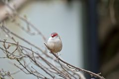 Red browed finch. The red browed finch is perched on a bush Royalty Free Stock Photos