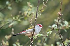 Red browed finch. The red browed finch is perched in a bush Stock Image