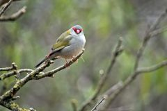 Red browed finch. The red browed finch is resting on a twig Stock Images