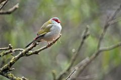 Red browed finch. The red browed finch is resting on a twig Royalty Free Stock Photo
