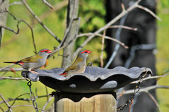 Red Browed Finches. On a feeder Stock Photography