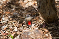 Red-browed firetail finch, Australia. Royalty Free Stock Photography