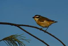 Red-browed Pardalote. (Pardalotus rubricatus) on coast of Queensland Australia Royalty Free Stock Images