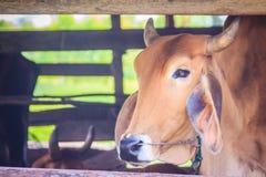 Red-Brown υβριδικά αμερικανικά βοοειδή αγελάδων Brahman, επικεφαλής πυροβολισμός Το Ame Στοκ Φωτογραφίες