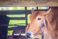 Red-Brown υβριδικά αμερικανικά βοοειδή αγελάδων Brahman, επικεφαλής πυροβολισμός Το Ame Στοκ Εικόνες