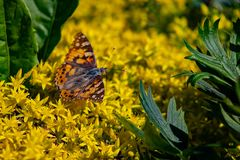 Red-brown butterfly Papilio urticae, or the Little Turtle, Mining Turtle sitting on yellow flowers of Sedum royalty free stock photo