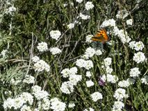 Red brown butterfly sits on white flowers royalty free stock photo