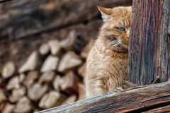 A red and brown cat while hiding. On the wood background Royalty Free Stock Photography