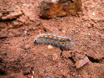 Red and brown caterpillar with white spikes on sand ground in Swaziland Stock Image