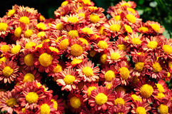 Red brown Chrysanthemum Stock Photo