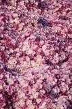 Red brown Chrysanthemum Royalty Free Stock Image
