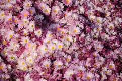 Red brown Chrysanthemum Stock Photography