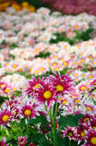 Red brown Chrysanthemum Royalty Free Stock Images