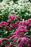 Red brown Chrysanthemum Stock Photo