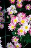 Red brown Chrysanthemum Royalty Free Stock Photo
