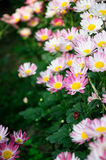 Red brown Chrysanthemum Royalty Free Stock Photos