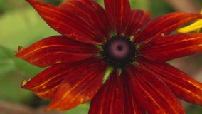 Red and brown coneflowers getting on sunny summer day, 4K. Yellow, red and brown coneflowers close up on sunny summer day, 4K stock video footage