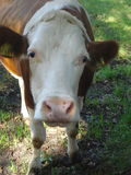 RED BROWN COW IN FRONT Royalty Free Stock Image