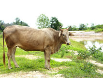Red brown cow. On green field near river stock image