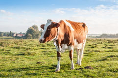 Red brown cow standing alone in the early morning sunlight Royalty Free Stock Image