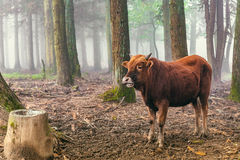 Red brown cow standing in the woods Stock Photo