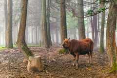 Red brown cow standing in the woods Royalty Free Stock Images