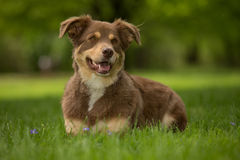 A Red and brown dog Stock Image