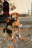 Red brown dog on Corsica Island, France Royalty Free Stock Image