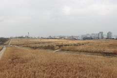 Red brown grass field in sky park scenery in winter Seoul. Korea Royalty Free Stock Photos