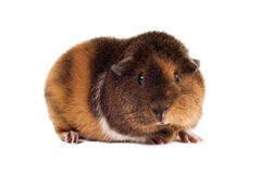 A red-brown guinea-pig of a Teddy breed sits at a half-turn and looks directly. On a white background horizontal Royalty Free Stock Photos