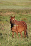 Red brown horse #3 royalty free stock image