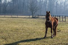 Red brown horse stock image