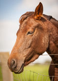 Red Brown Horse Portrait in a feild Stock Photography
