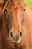 Red Brown Horse Portrait Royalty Free Stock Photos