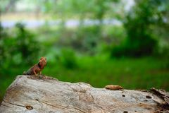 Red brown lizard indian common garden park landscape full frame stock photos