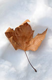 Red-brown leave into the snow Royalty Free Stock Images