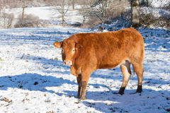 Red brown Limousin beef cow in a cold snowy winter pasture Royalty Free Stock Images