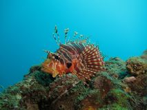Red and brown lionfish. Lionfish resting on a rocky outcrop of a reef in Similan Isands, Thailand royalty free stock image