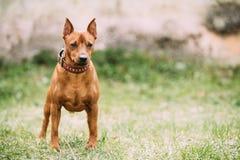 Red Brown Miniature Pinscher Pincher Min Pin Zwergpinscher Dog Standing. On Green Grass Stock Photos