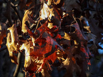 Red and Brown Oak Leaves in Autumn Royalty Free Stock Photo