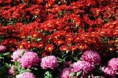 Red brown and pink Chrysanthemum Stock Photo