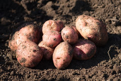 Red, brown raw potato lay on ground. Harvest. Red, brown raw potato lay on ground. Outdoor Royalty Free Stock Images