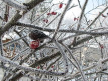 Red and brown rose hip prematurely frozen royalty free stock photo