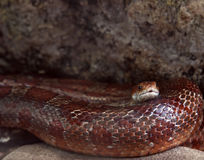 A red-brown snake. Lying between stones Royalty Free Stock Images