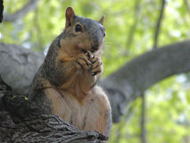 Red/Brown Squirrel. Brown Squirrel eating her peanut. These Red/Brown squirrels are found in Northeastern United States Royalty Free Stock Photos