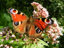 Red Brown White Butterfly on Top of Pink Clustered Flower Stock Photography